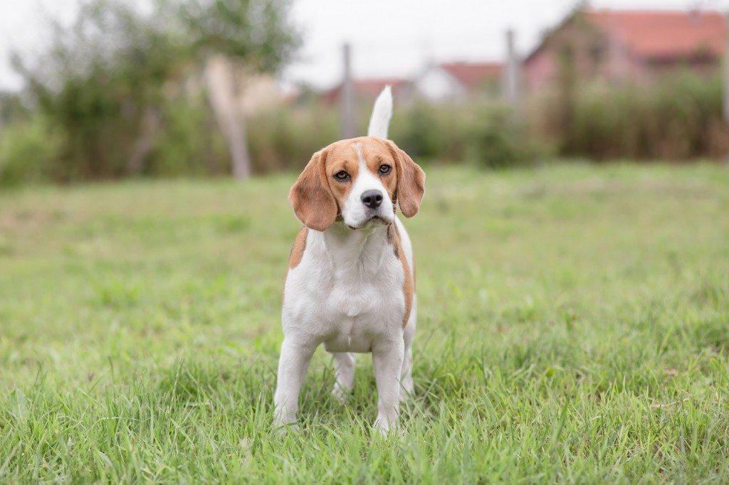Beagle Time!