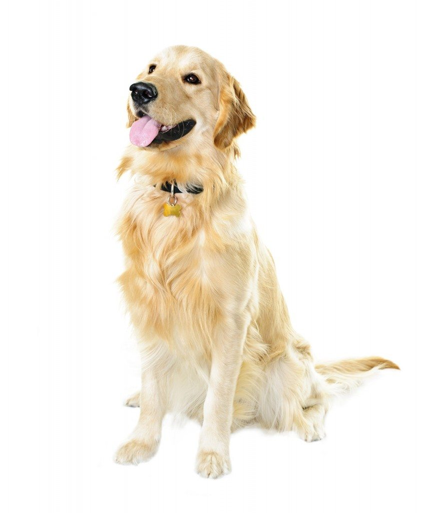 Golden Retriever Most Affectionate Dog