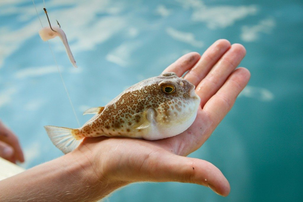Fugu fish caught while fishing in Siam Bay -- Live Dangerously Eat Weird Poisonous Fish