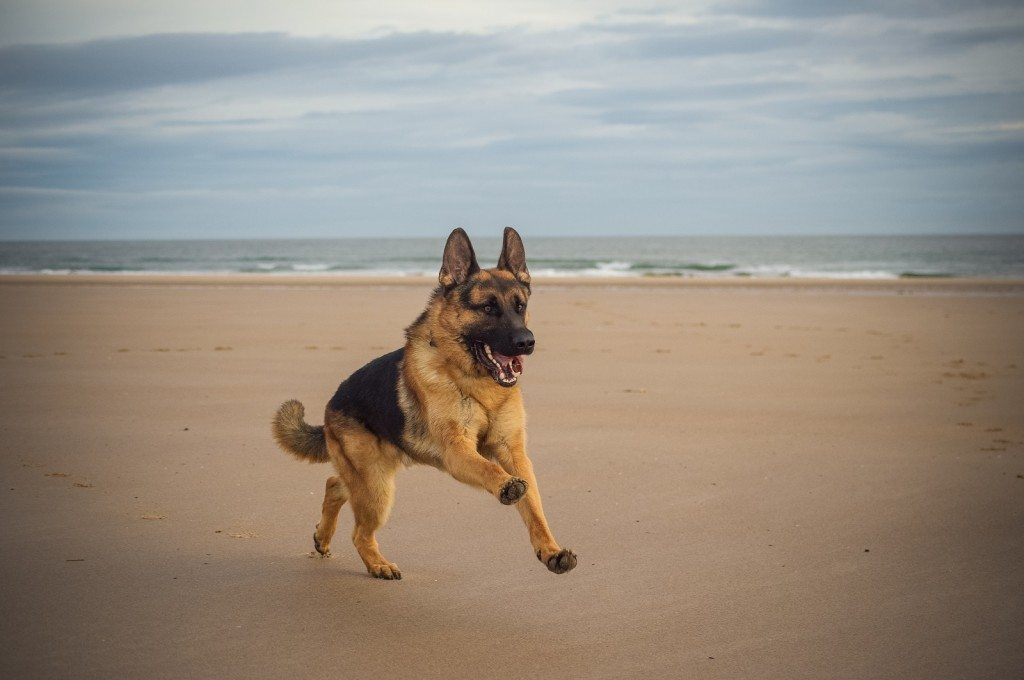 Kaze: Training Hero German Shepherd