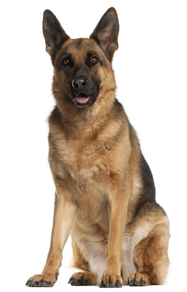 Moti the Hero German Shepherd