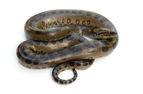 Anacondas strong enough to pop your ugly mug like a pimple