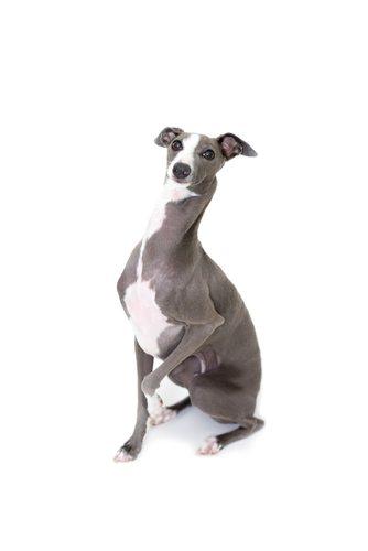 Greyhounds. Debonair and fast