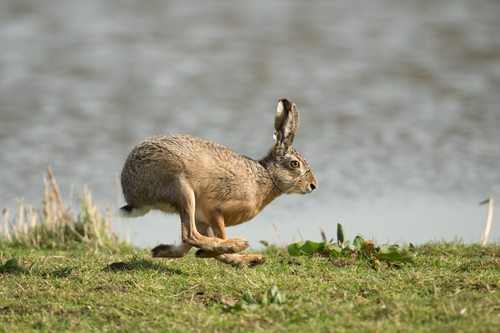 Hare today gone tomorrow.  And dog-gone quick.