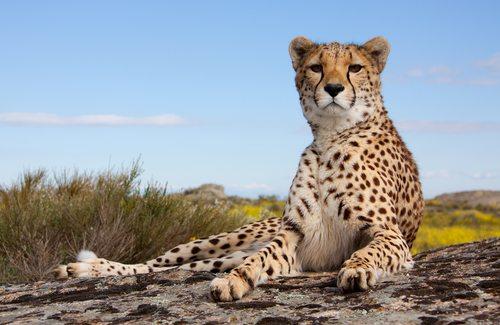 I am a Cheetah. Yup, I'm faster than you.