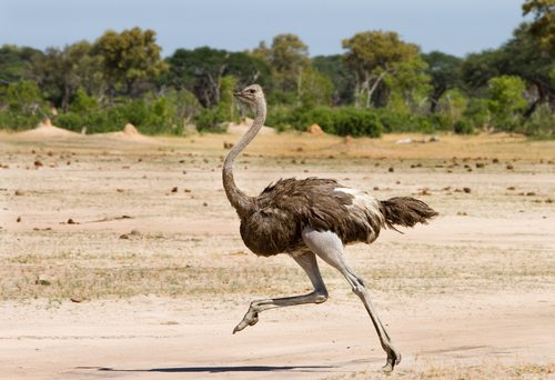 Ostriches are real hot-steppers