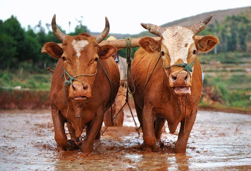 Oxen.  As strong as they come. Do you even lift bro...