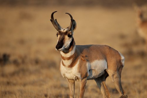 Pronghorns can really move.