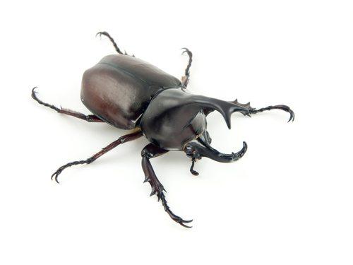 The Rhino Beetle is one tough customer