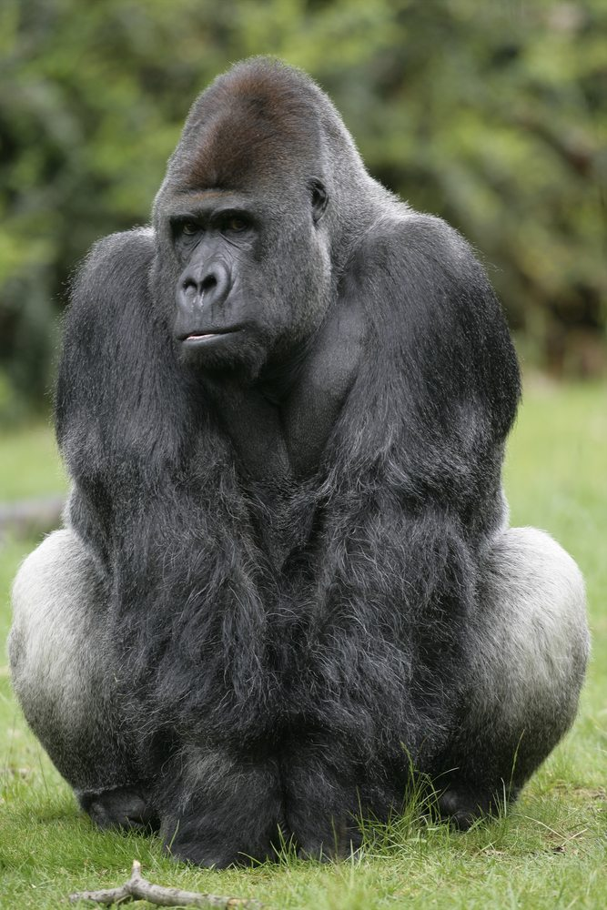The Silverback Gorilla is not to be trifled with.