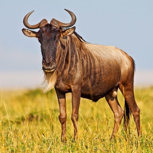 Wildebeests.  Be fast or be dinner.