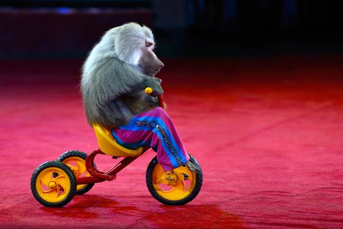 Without religion humans would have no supernaturally divined sense of morality. Just like without circuses baboons wouldn't have colorful pants or tricycles.