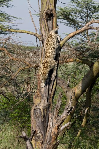 Leopards are amazing climbers