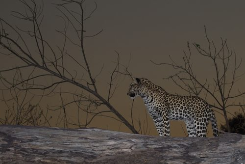 Leopards love to hunt at night