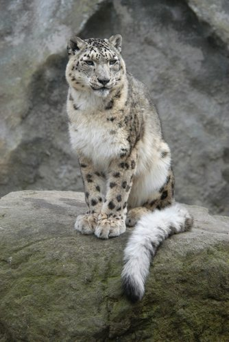 Snow Leopards are quite distinct from their African Cousins