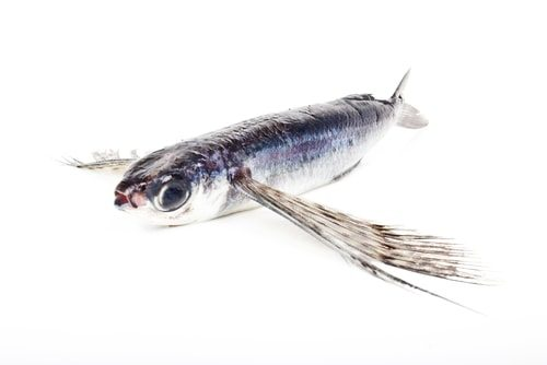 Flying Fish are ridiculously fast fish