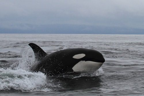 Killer Whales or Orcas are among the fastest animals in the Ocean