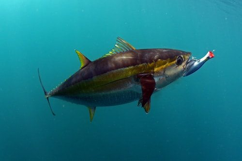 The Yellowfin Tuna is real speedster
