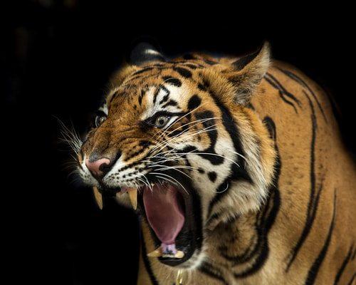 This Tiger still hates Vladimir Putin
