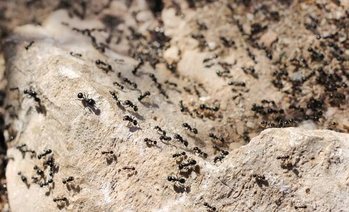 Driver Ants. Strength and lethality in numbers.