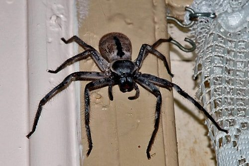 Frickin' scary and dangerously poisonous the Mouse Spider