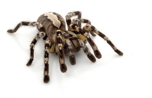 Furry, creepy and poisonous the Fringed Ornamental Tarantula