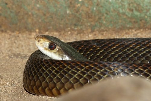 Inland Taipan is one of the world's most venemous snakes.