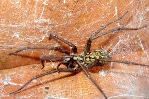 The Hobo Spider. Cute name. One poisonous customer!