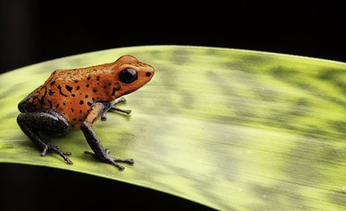 Poison Dart Frogs.  Cute but dangerous as heck.