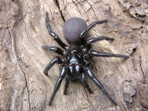 Sydney Funnel-web Spider small but ultra poisonous and deadly