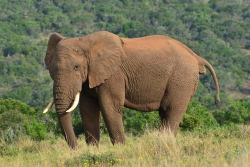 The African Elephant. Huge and lethal.