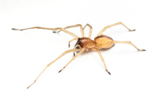 The super poisonous Yellow Sac Spider