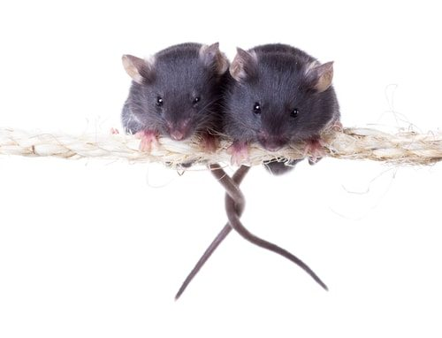 Mouse livers are way different and not good analogs for humans. Ban animal testing!