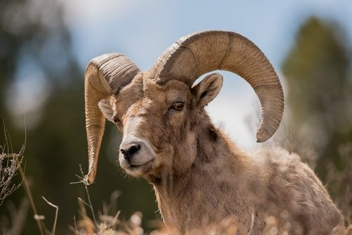 Aries are rams not sheep.
