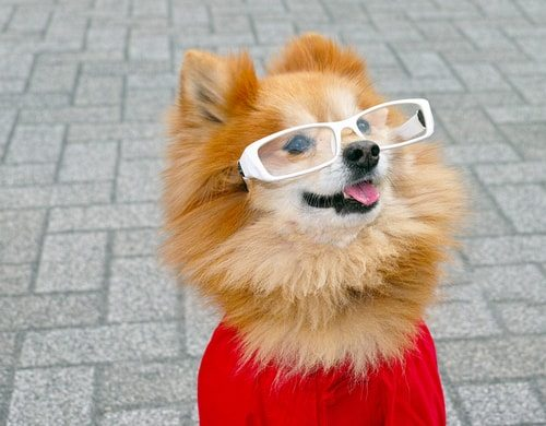Pomeranians love to be dressed by their owners. No, it doesn't mean you're weird. I'm sure you could have a boyfriend and a steady job if you really wanted one.