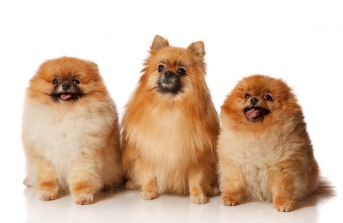 There are lots of Pomeranians looking for a good home. Adopt!