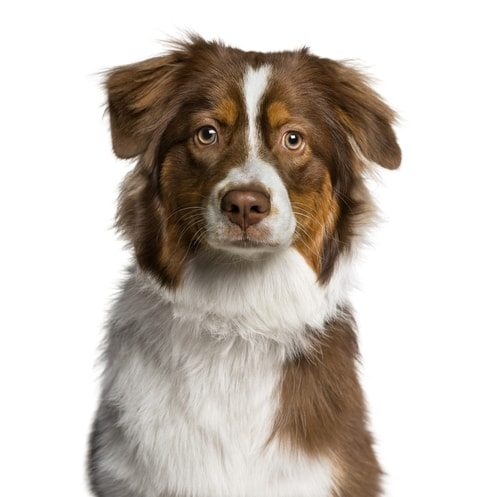 10 Things You Should Know Before Owning an Australian Shepherd