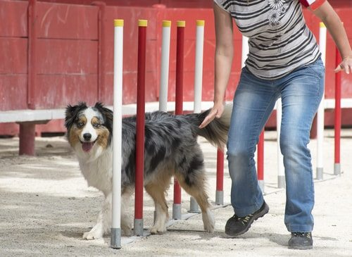 Australian shepherds need training and are great agility contest dogs.