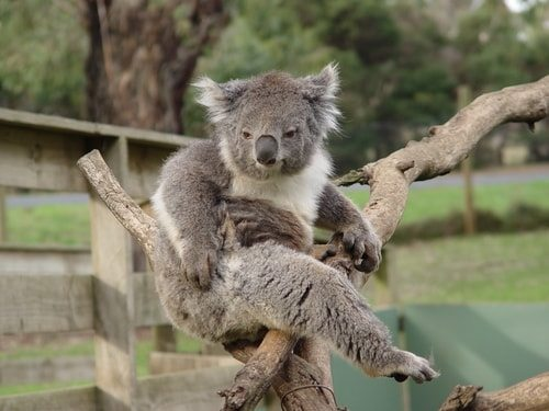 Koalas can be downright crabby!