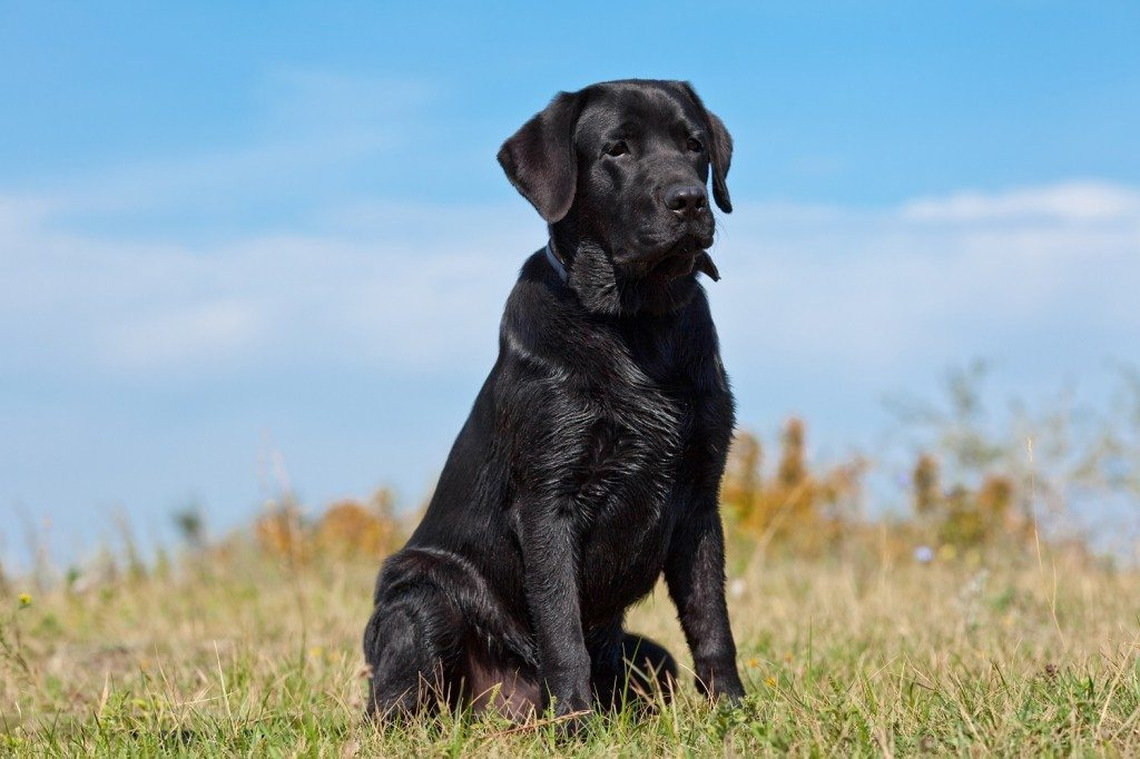 Black Labrador Hero