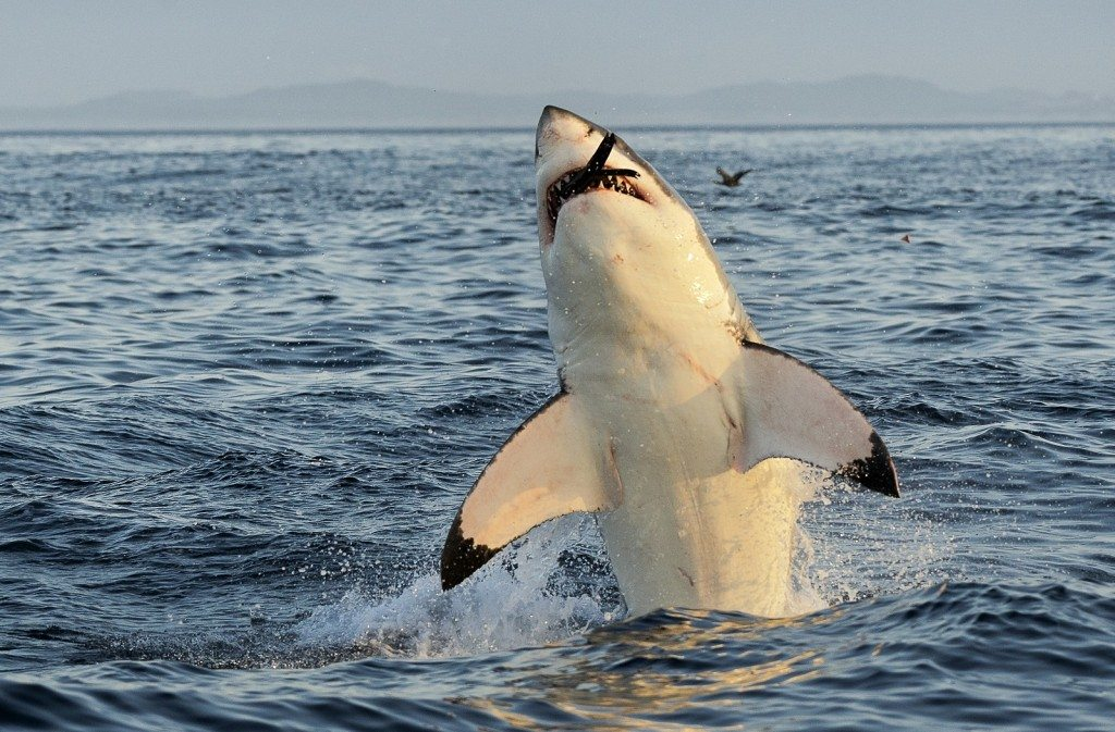 Mmmm the Sweet Taste of Victory. Tastes Just Like Seal! Shark Week!