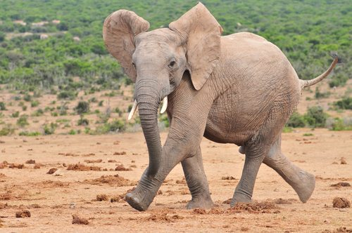 African Elephants are immensely strong