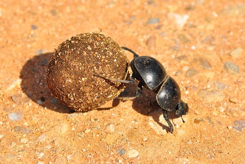 Dung Beetle.  The strongest animal.  Betcha didn't guess that!