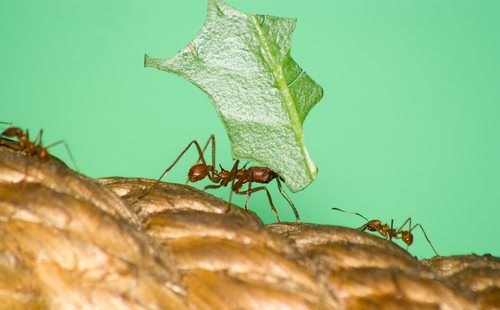 The leafcutter ant lifts 50 times its weight