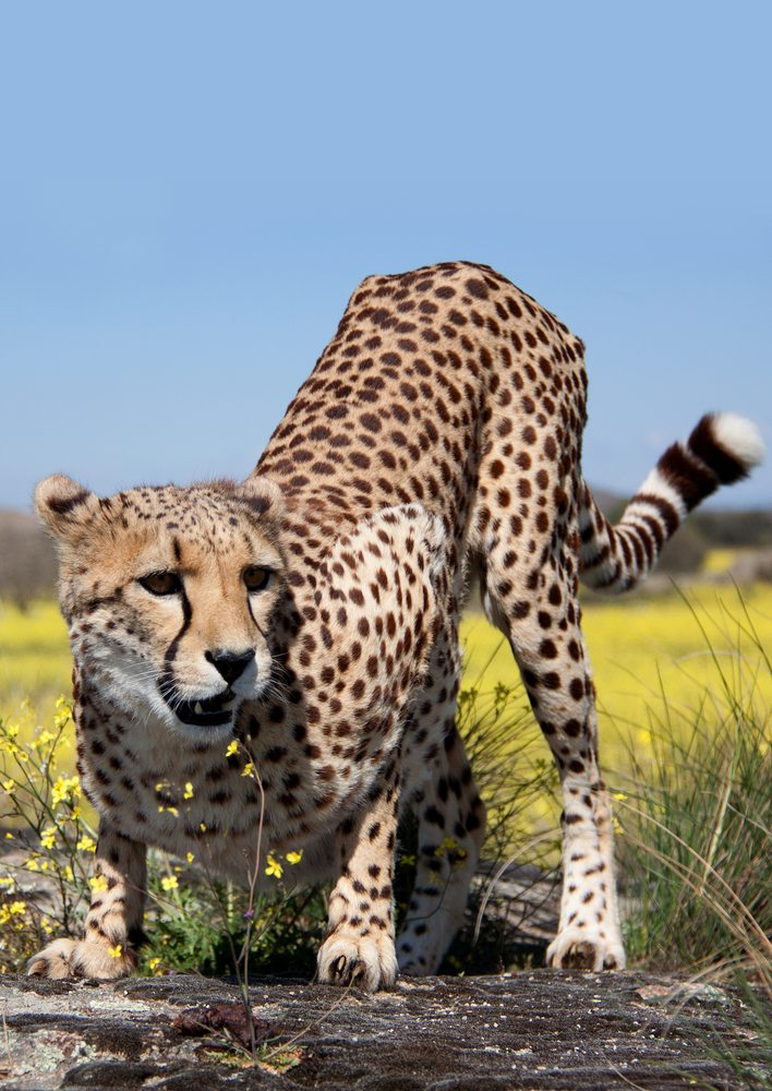 Top 10 Fastest Animals on Land