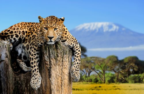 Leopards are pretty big cats.