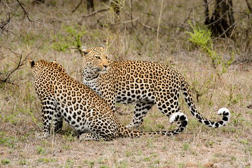Leopards are solitary beasts and only get together for mating