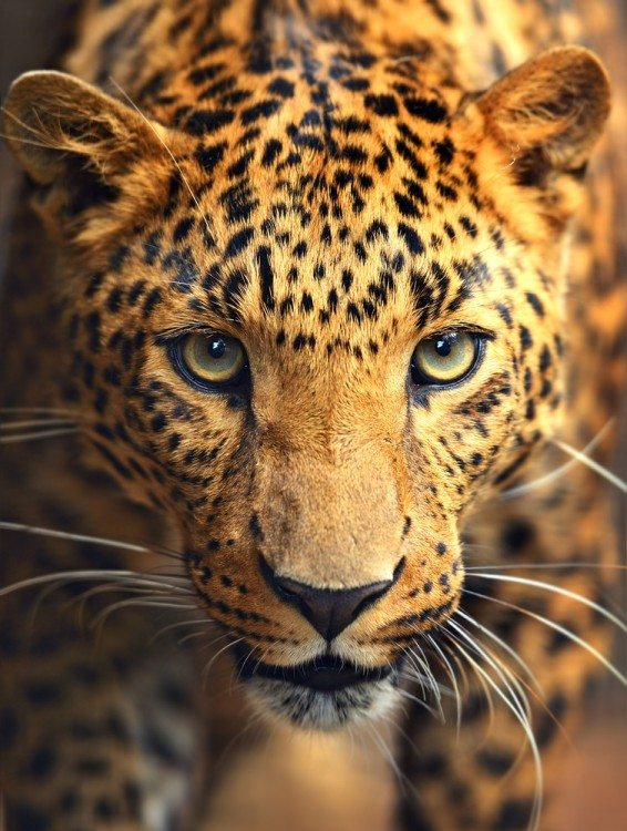 Top 10 Amazing Facts about Leopards