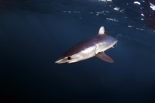 The Mako Shark is the Usain Bolt of Sharks