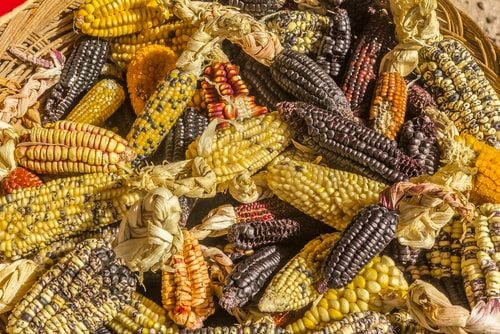Corn has more varietals than you can shake a stick at